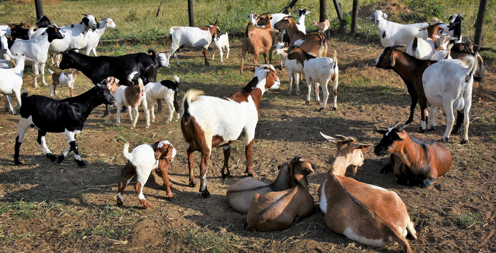 Give-a-goat_big